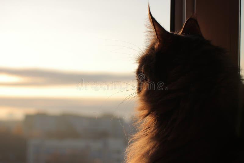 Maincoon auf dem Sonnensteigen Guten Morgen Sun ist oben Warmes Licht auf Pelz Sieht wie Statue aus Entspannung stockfoto