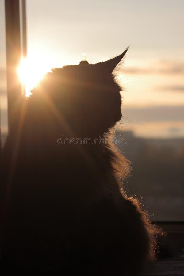 Maincoon en el levantamiento del sol Buenos días Sun está para arriba Luz caliente en la piel Parece la estatua Fondo de la ciuda imágenes de archivo libres de regalías