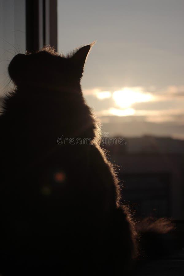 Maincoon en el levantamiento del sol Buenos días Sun está para arriba Luz caliente en la piel Parece la estatua Fondo de la ciuda fotos de archivo