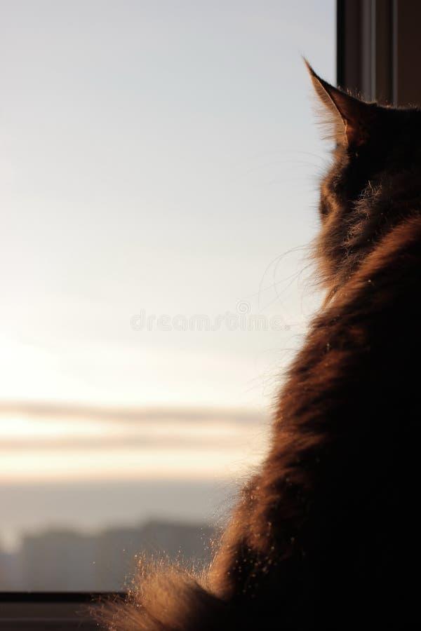 Maincoon en el levantamiento del sol Buenos días Sun está para arriba Luz caliente en la piel Parece la estatua Fondo de la ciuda fotografía de archivo