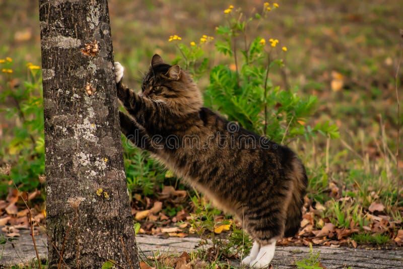 Maincoon que risca uma árvore fotografia de stock