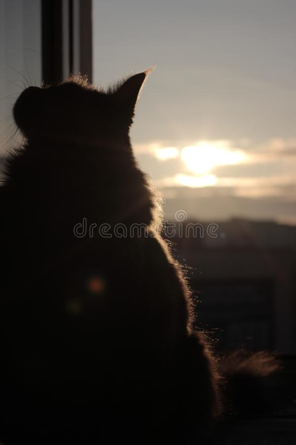 Maincoon on the sun rising. Good morning. Sun is up. Warm light on fur. Looks like statue. City background. Cat near the window. Maincoon on the sun rising. Good stock photos