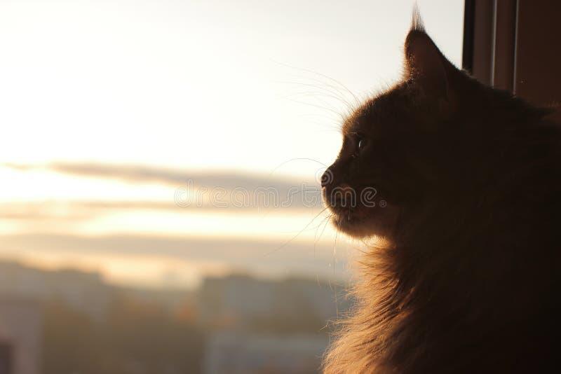 Maincoon on the sun rising. Good morning. Sun is up. Warm light on fur. Looks like statue. Cat near the window. Maincoon on the sun rising. Good morning. Sun is stock image