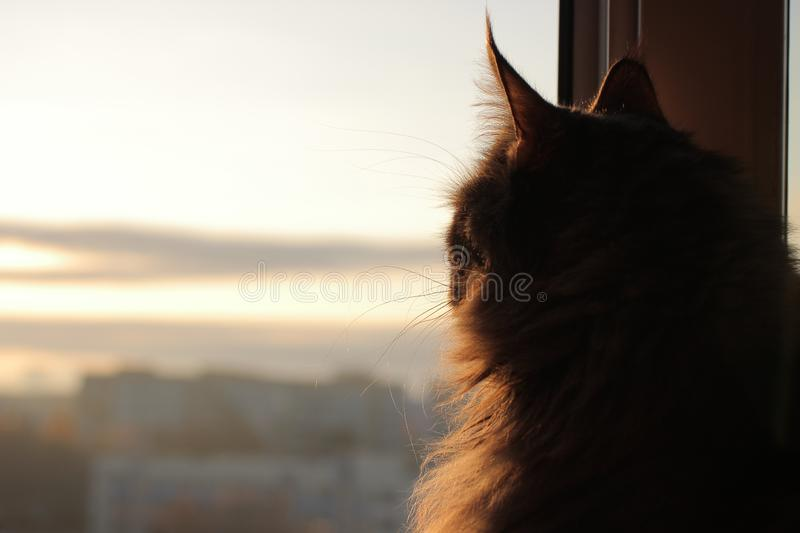 Maincoon on the sun rising. Good morning. Sun is up. Warm light on fur. Looks like statue. Relaxing. Maincoon on the sun rising. Good morning. Sun is up. Warm stock photo