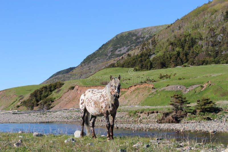 Maine Appaloosa Pony fotografie stock