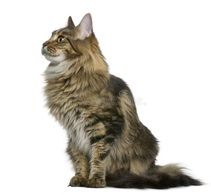 Maine coon 1 year