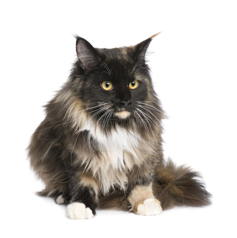 Download Maine Coon (11 months) stock photo. Image of vertebrate - 7509228
