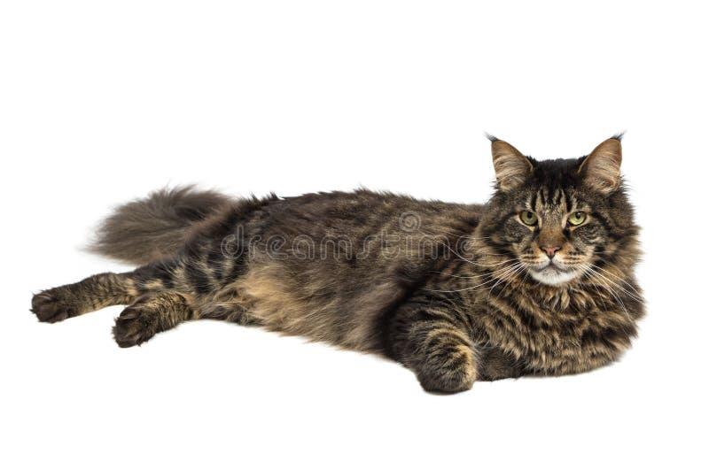 Download Maine coon 2 stock image. Image of feline, horizontal - 24851135