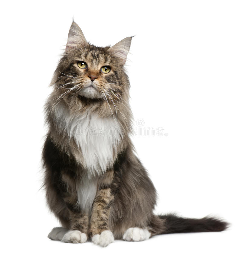Maine coon, 2 years old stock photography