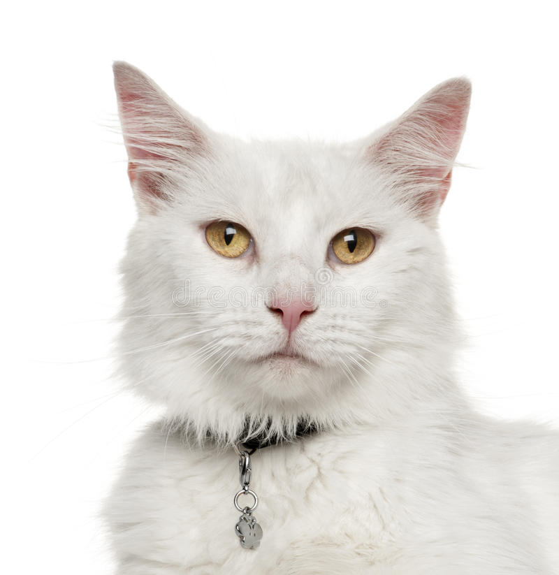 Download Maine Coon Royalty Free Stock Photo - Image: 26645475