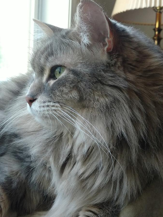 Maine Coon image stock