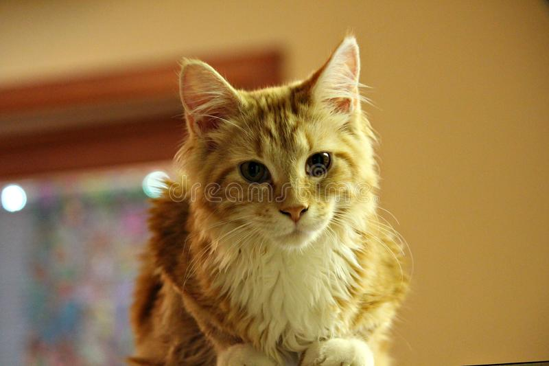 Maine Coon Baby rouge photographie stock