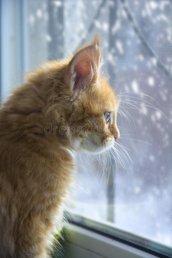 Maine coon.beautiful kitten. Ginger kitten for sale Maine Coon. purebred, purebred kittens, nursery.a beautiful kitten is waiting for the owners. loneliness stock photos