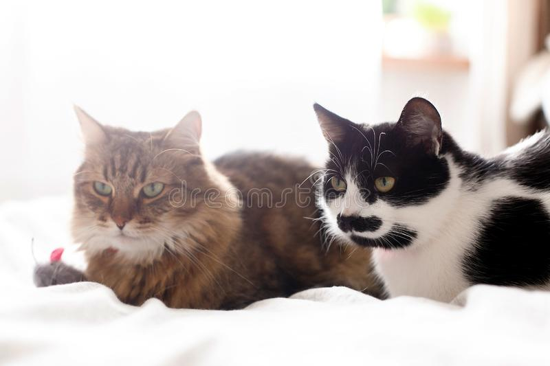 Maine coon and black and white cat with moustache relaxing with funny faces on comfortable bed. Two cute cats sitting with toy stock photo