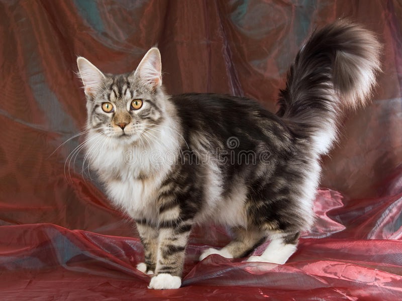Maine Coon on burgundy background