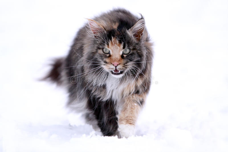 Download Maine Coon cat stock image. Image of winter, walk, main - 22495609