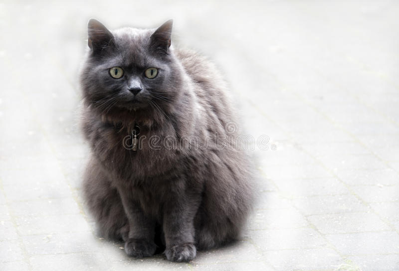 Download Maine coon cat stock photo. Image of maine, coon, breed - 25311794