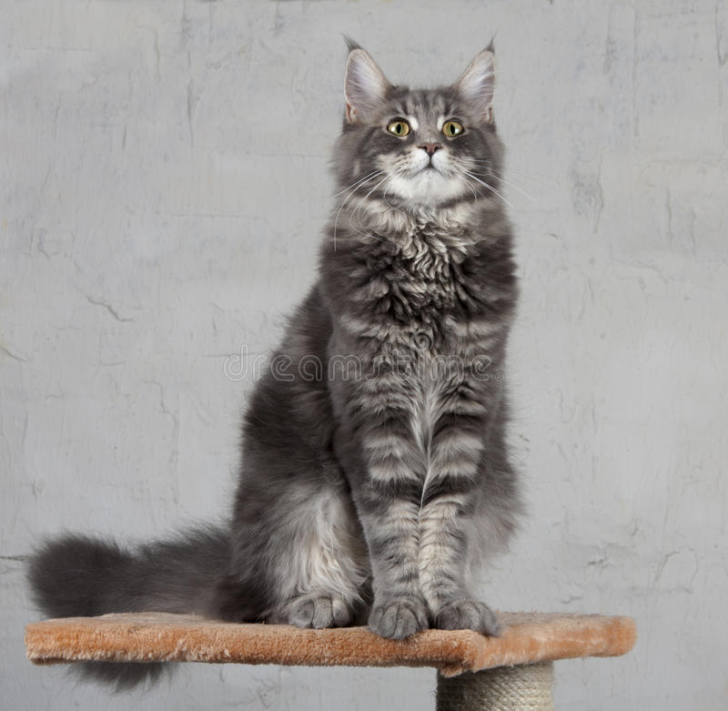 Maine Coon Cat Royalty Free Stock Image