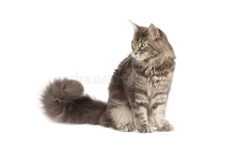 Download Maine coon cat stock photo. Image of portrait, pedigreed - 27496278