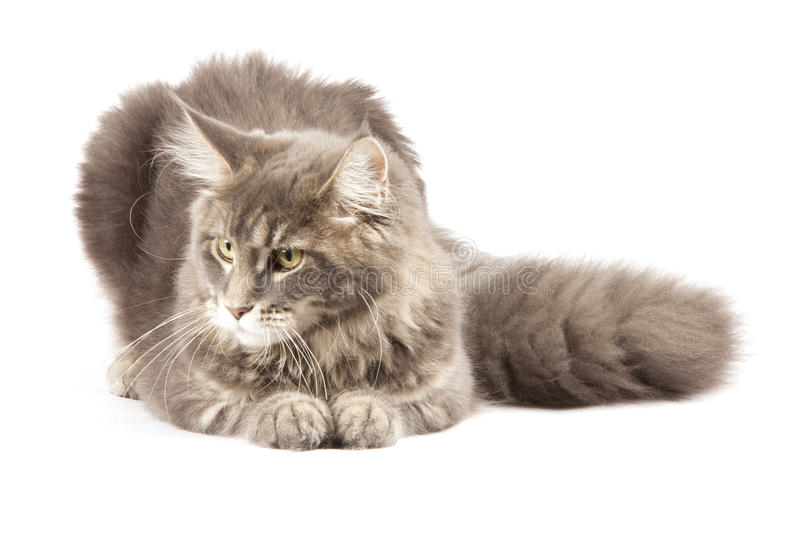 Download Maine coon cat stock image. Image of mammal, white, animal - 27627825