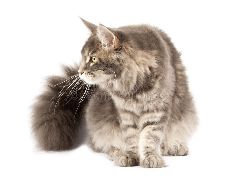 Download Maine coon cat stock photo. Image of maine, vertebrate - 27627836