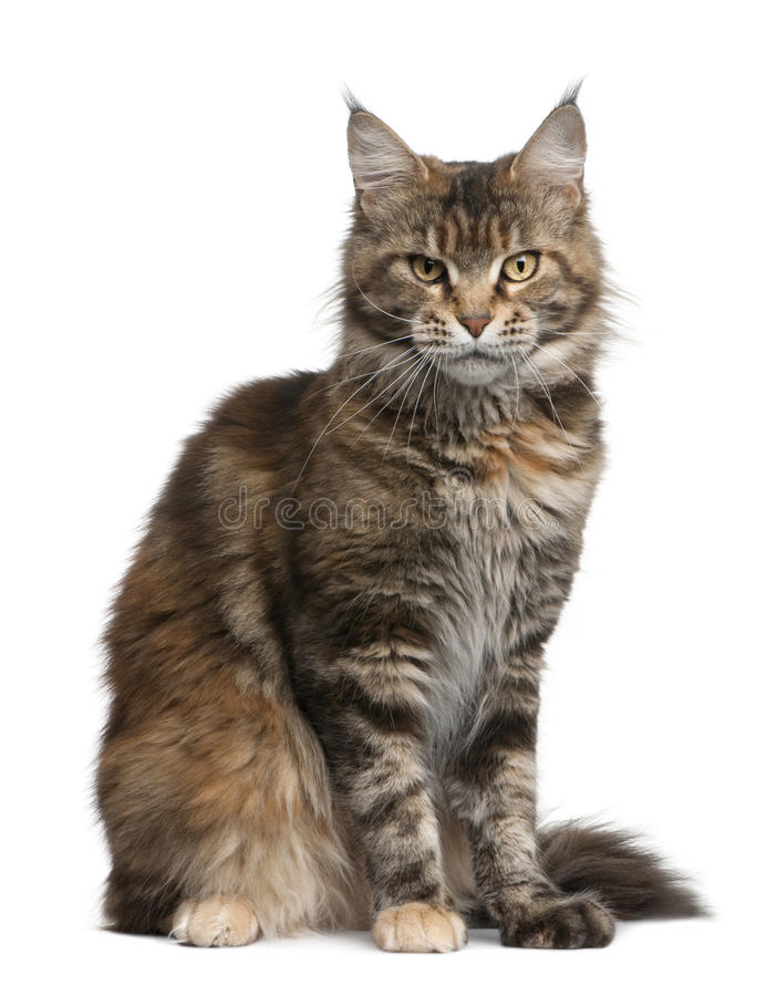 Download Maine Coon Cat, 3 Years Old Stock Photo - Image: 13667878