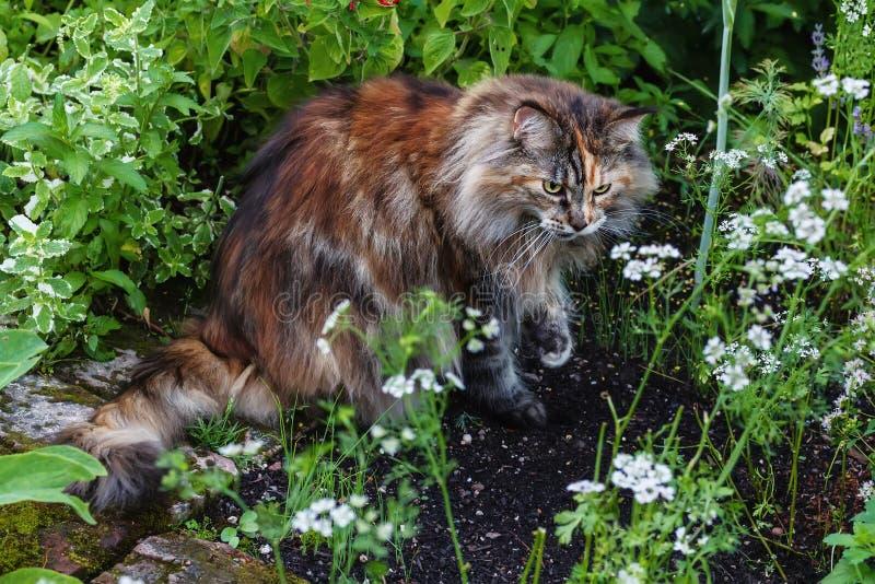 Maine Coon Cat fotografia stock libera da diritti
