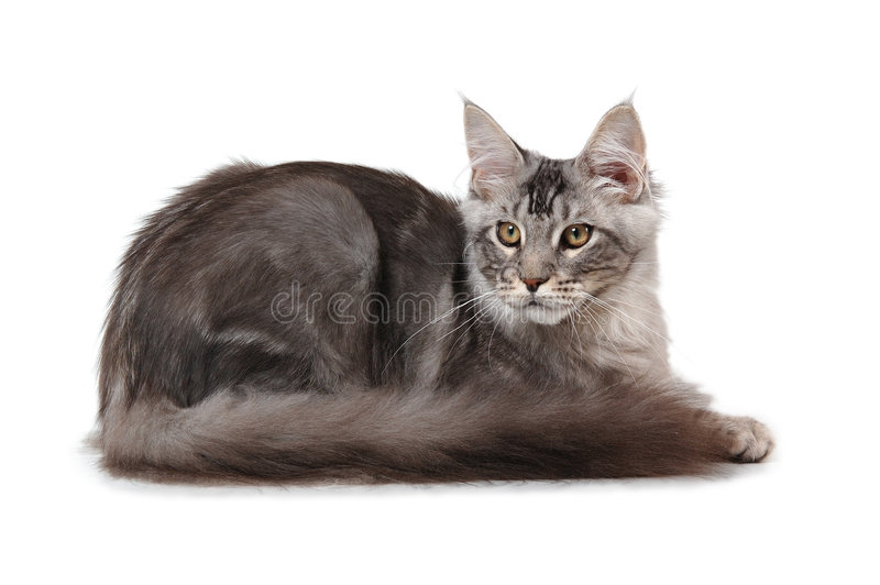 Download Maine Coon Cat Stock Photos - Image: 3790243