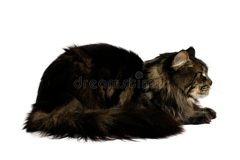 Maine coon cat royalty free stock photography