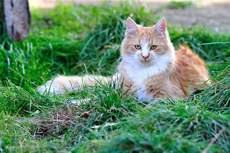Maine Coon Cat image stock
