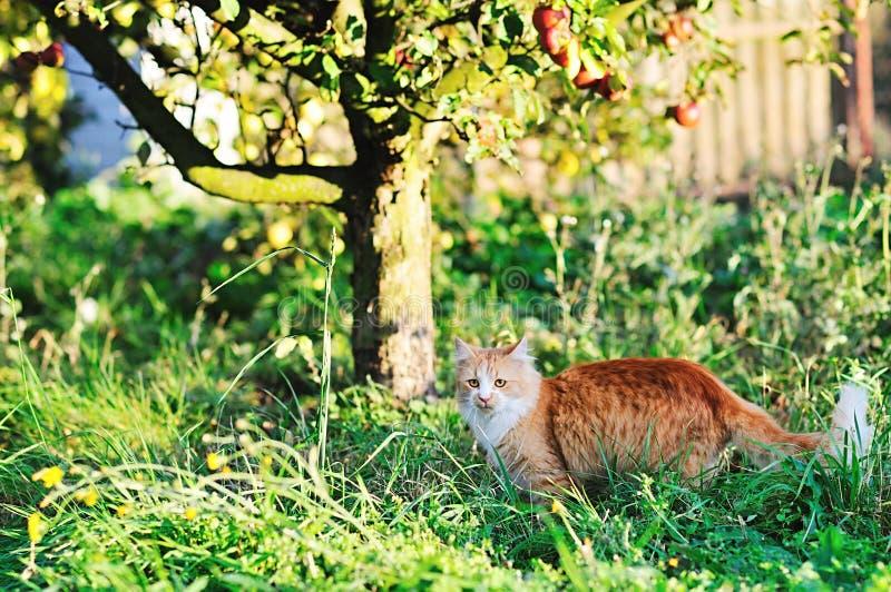 Maine Coon Cat photographie stock libre de droits