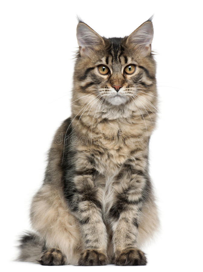 Maine Coon cat, 5 months old, sitting royalty free stock photos