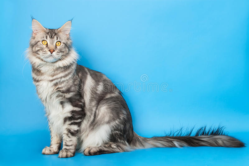 Maine Coon Cat photos stock