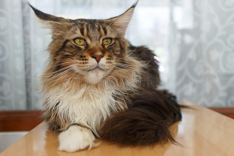 Maine Coon Cat images stock