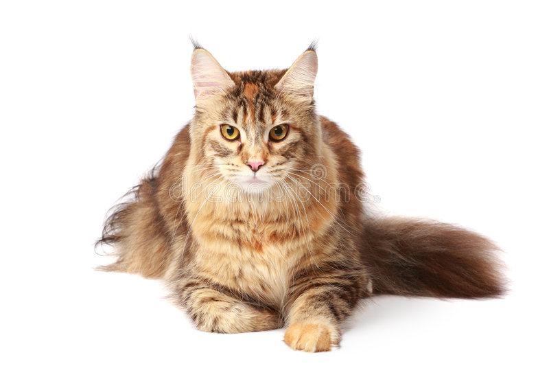 Maine-coon Cat Royalty Free Stock Image