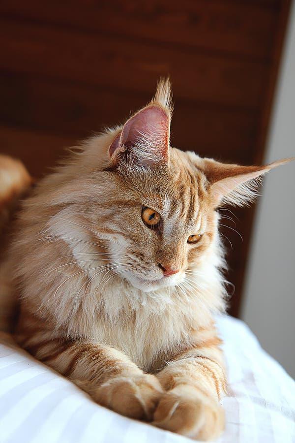 Maine Coon Cat binnen stock foto