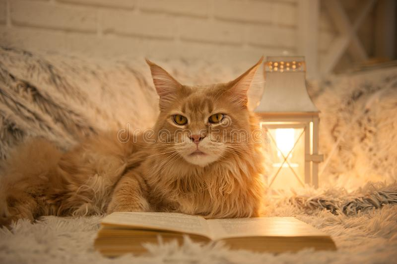 Maine Coon cat with books lying on the couch royalty free stock image