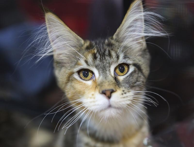 Maine Coon cat, brown tiger color. stock photos