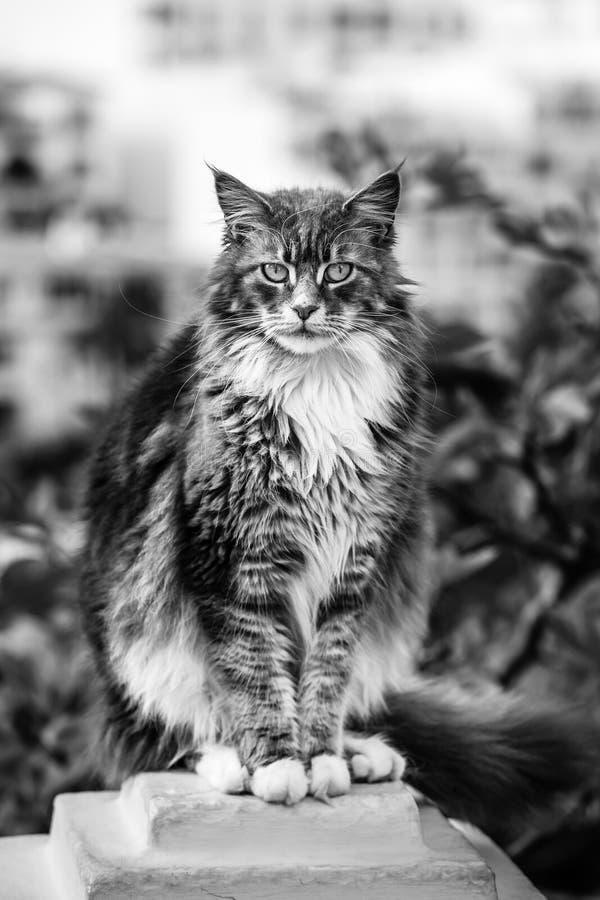 Maine Coon Cat che si siede su un piedistallo di pietra, foto in bianco e nero immagini stock