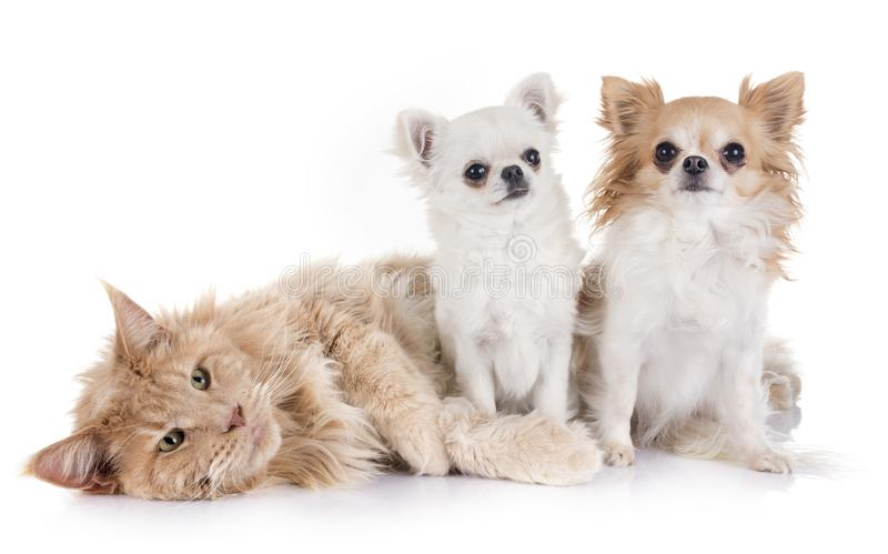 Maine coon cat and chihuahua. In front of white background royalty free stock images