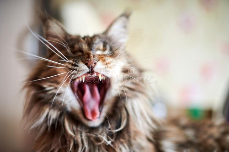 Maine coon cat, close up. Funny, cute cat with marble fur color. Largest domesticated breeds of felines. Soft focus royalty free stock photo