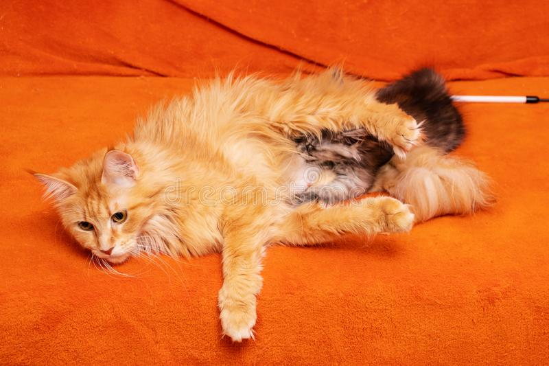 Maine Coon cat feeds kitten milk. Kennel beautiful pedigree kittens for sale Maine Coon stock photo