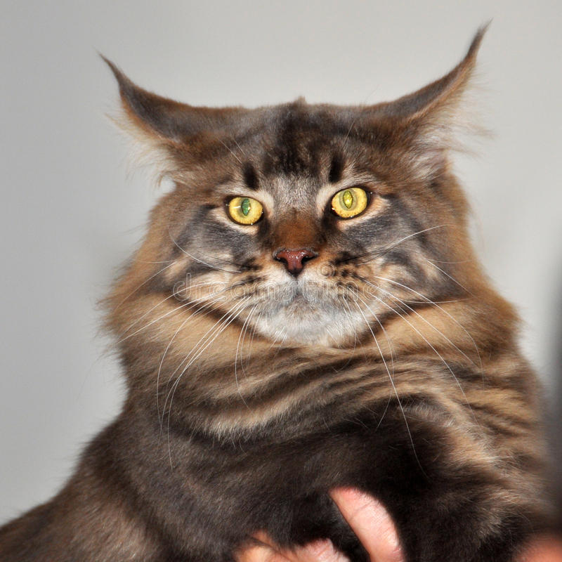 Download Maine Coon cat stock photo. Image of look, coloring, right - 39513320