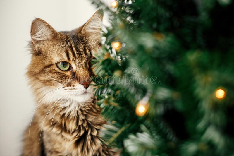 Maine coon cat with green eyes sitting at little christmas tree with lights. Cute kitty relaxing under festive christmas tree. royalty free stock photography