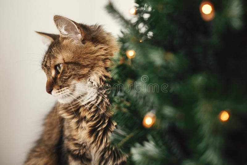 Maine coon cat with green eyes sitting at little christmas tree with lights. Cute kitty relaxing under festive christmas tree. stock images