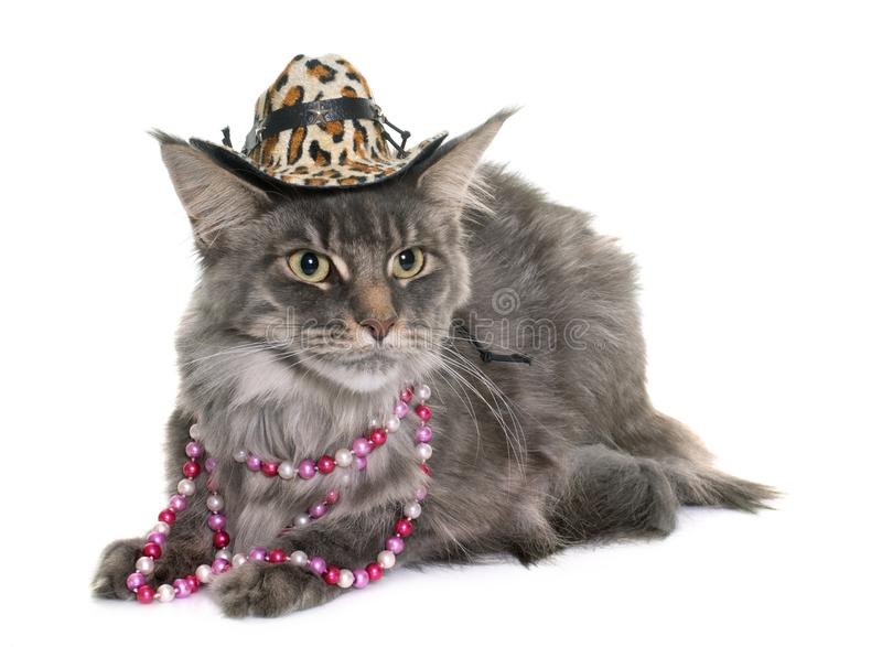 Maine coon cat and hat. In front of white background royalty free stock images
