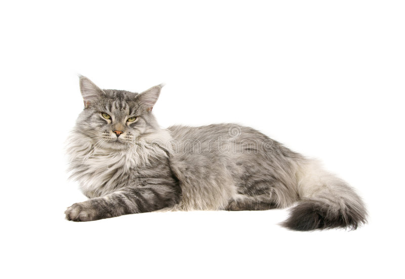 Maine coon cat isolated stock images