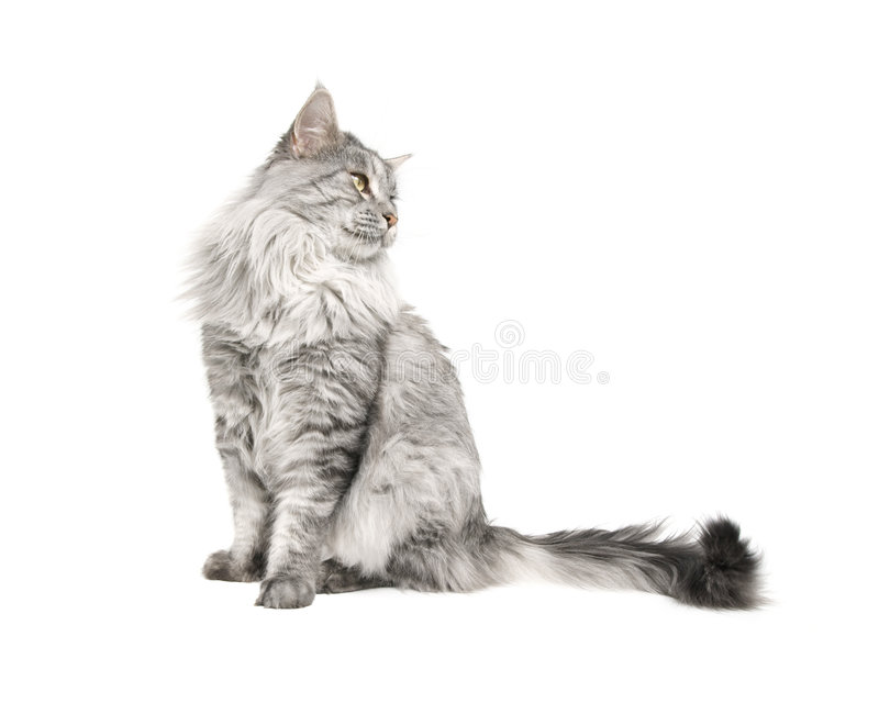 Maine coon cat isolated stock photos