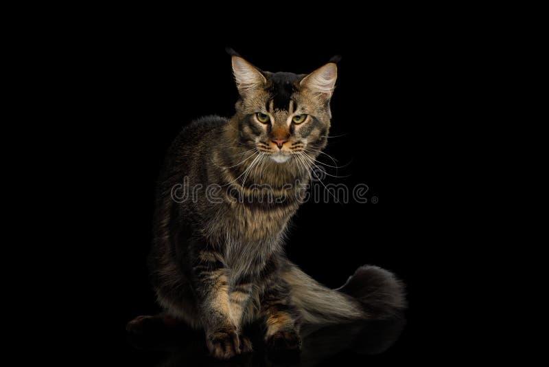 Maine Coon Cat Isolated på svart bakgrund arkivbild