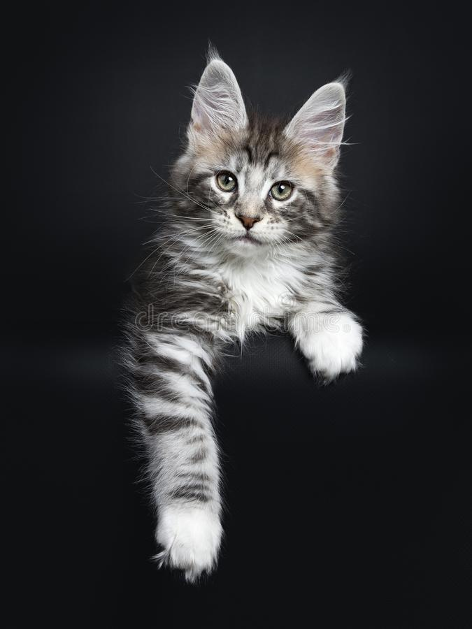 Maine Coon cat / kitten. Laying straight to the camera two paws hanging over the edge isolated on black background royalty free stock images